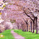 地元民が教える!北海道の桜(花見)スポットは?